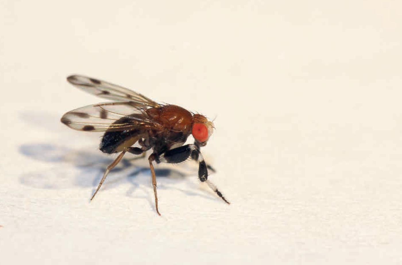 Sexual dimorphism in drosophila melanogaster